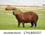 The Largest Living Rodent In...