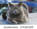 Gray Cat Lying And Looking Int...