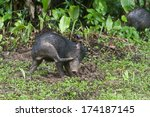 juvenile white lipped peccary | Shutterstock . vector #174187145