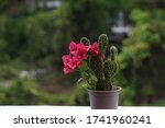 Cactus And Pink Bougainvillea...