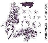 Collection Vector Set Of Lilac...