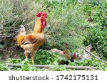 A Big Rooster In Nepal