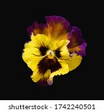 Pansy Isolated On A Black...