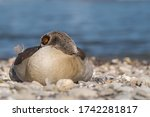 Egyptian Goose Rests On The...