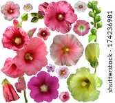 set of  malva flower on a white ... | Shutterstock . vector #174236981