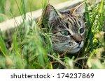 cat in basket | Shutterstock . vector #174237869