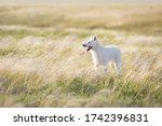 White Swiss Shepherd Dog On...