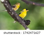 Pair Of American Goldfinch...