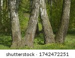 Birch Trunks Are Similar To The ...