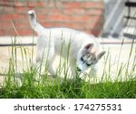 husky puppy sniffing the grass... | Shutterstock . vector #174275531
