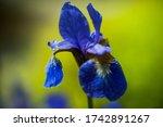 Iris Sibirica Plants From...