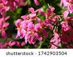 Pelargonium Geranium Flower...