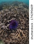 Small photo of A Crown of Thorns seastar (Acanthaster planci) feeds on coral in the Mergui Archipelago, Myanmar. This species of starfish can kill entire swaths of reef if given the opportunity.
