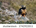 The Bearded Vulture  Gypaetus...