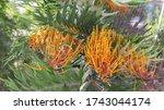 Closeup Of Grevillea Australian ...
