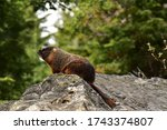 Marmot Poses On Boulder In...