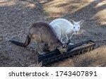 An Albino Kangaroo Next To A...