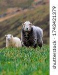 A Single Grey Herdwick Sheep I...