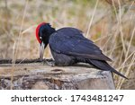 Black Woodpecker  Dryocopus...