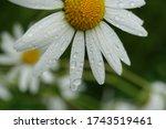 Raindrops On A Daisy Flower ...