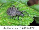 Beetle of otiorhynchus ...