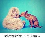 A Tiny Chihuahua Kissing A...