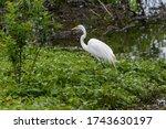 A Great White Egret Walking...