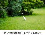 Great Egret Walking Through...