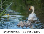 Mother Swan With Her Seven...