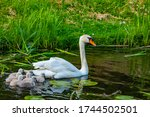 Mother Swan With Her Little...
