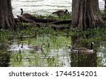 Two Familites Of Canada Geese ...