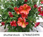 Red Yellow Flowering Petunia In ...