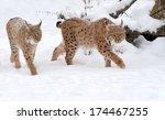beautiful wild lynx in winter... | Shutterstock . vector #174467255