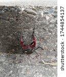 Small photo of Male deer beetle. warlike Lucanus cervus, deer beetle