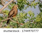 Yellow Billed Kite Sitting On ...