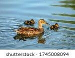 Female  Allard Duck   Nas...