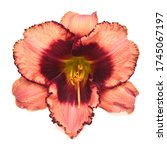 Flower Pink Day Lily Beautiful...