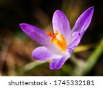 Small photo of Purple autumn crocus flowers, Colchicum autumnale, in a green grass meadow. Meadow Saffron Flower, Colchicum autumnale. Autumn crocus.