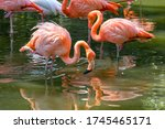 Beautiful pink flamingos stands in the water. A bird looks into the water in search of food. Reflection of a bird in the water. A flock of pink birds in a nature park. Sunny day, green trees.