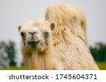White Camel Close Up In A Zoo