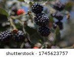 Blackberry On The Plantation....