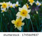 Narcissus Flowers. Flower Bed...