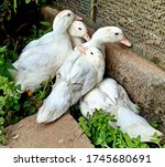 Four White Domestic Young Ducks