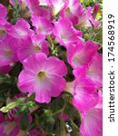 Close Up Of  Pink Petunias...