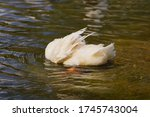 Duck Splashing Water. Duck In...