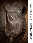 Portrait Of A Black Rhino Bull.