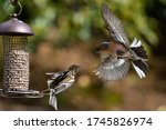 Chaffinch Male And Female On...
