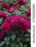 """Small photo of Pink roses, grade """"Darcey bussell"""" in Moscow garden. Buds, inflorescences of flowers closeup. Summer nature. Postcard with rose. Roses blooming. Summer blossom. Macro photo of purple, red rose flower"""