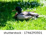 Mallard Duck On A Grass. Femal...