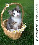 Gray White Cute Kitten With Big ...